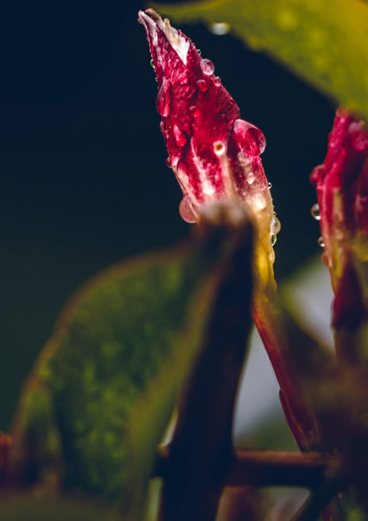 Nature photography with the title 'Cloud Kids #4'. Raindrops on a red blossom