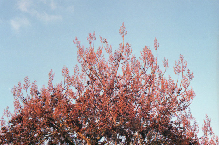 Red Tree. Analog photograph by Katrin Mainusch.
